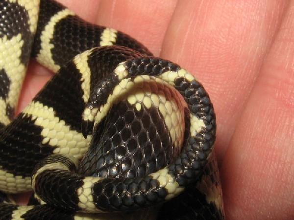 snake tail tip