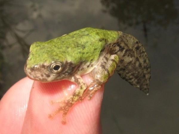 metamorph gray treefrog hyla versicolor