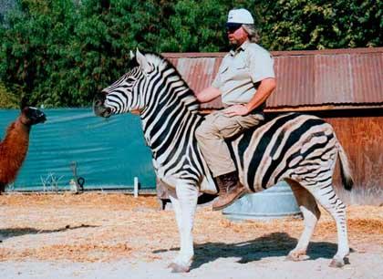 Ride a Zebra