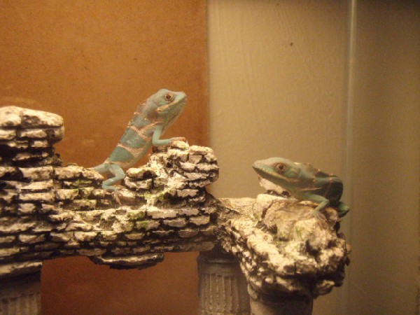 Two Hatchling Knight Anoles.