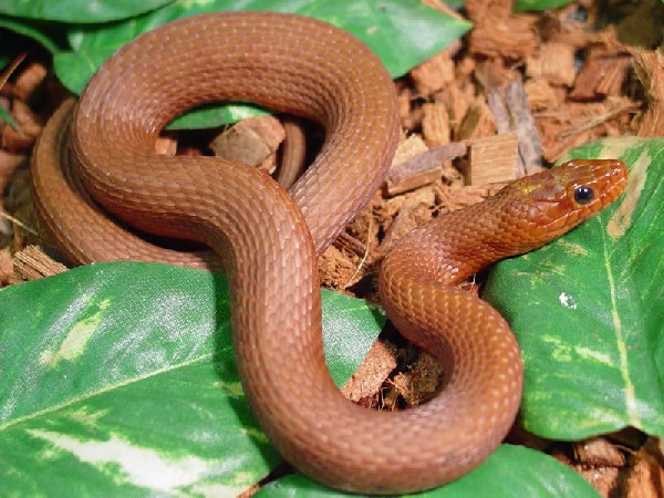 Salt Marsh Snake, uploaded by kingsnake.com user PiersonH