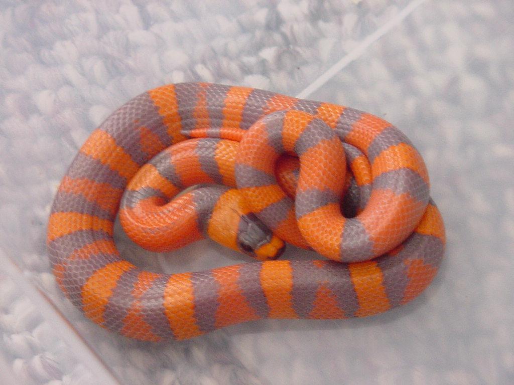 Adult honduran anery milk snake