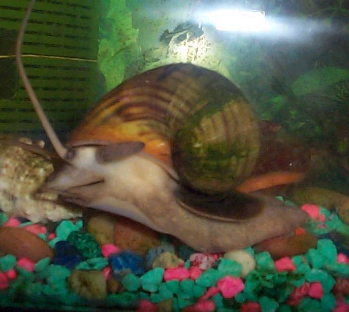 Apple snail babies
