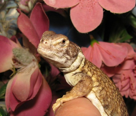 Uromastyx, uploaded by kingsnake.com user RANDYTAYLOR
