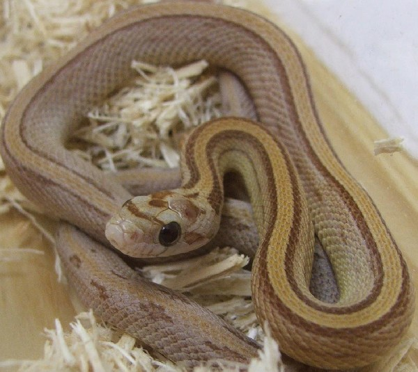 Amber Stripe Corn Snake, uploaded by kingsnake.com user SickPython