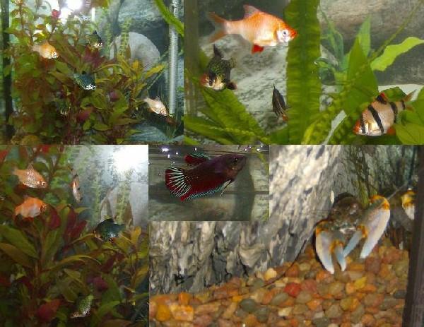 barb aquarium
