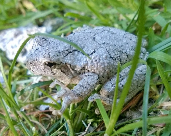 Gray Tree Frog, uploaded by kingsnake.com user JP
