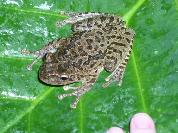 Tree Frog, uploaded by kingsnake.com user rdperry5