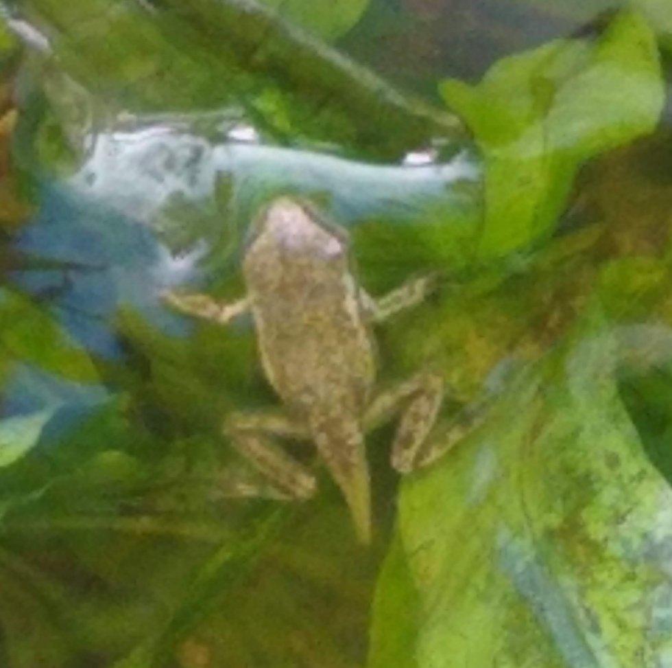 Young froglet backside