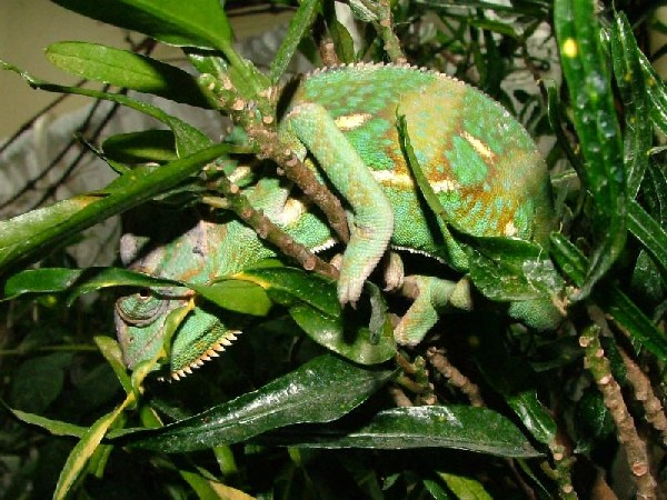 Photo: Veiled Chameleon