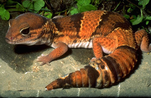 Photo: Fat-Tailed Gecko