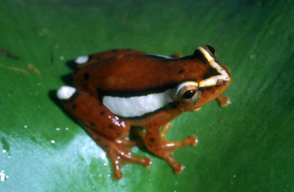 Reed Frog, uploaded by kingsnake.com user arkherps