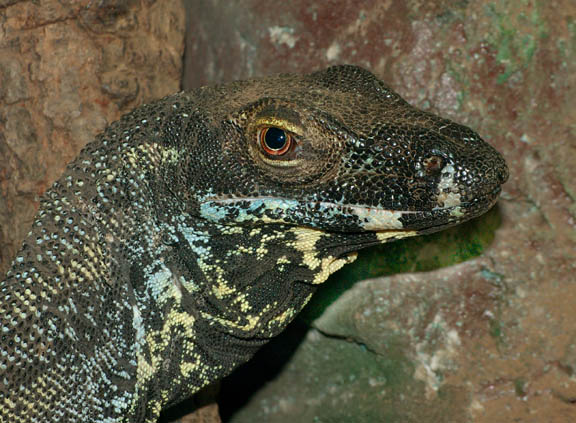 Photo: Lace Monitor