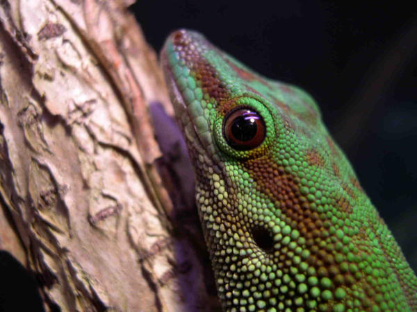 Kingsnake Com Classifieds Gt Day Gecko Classifieds