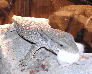 Photo: savannah monitor