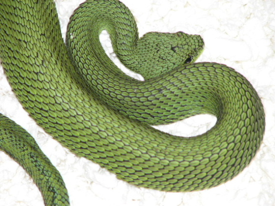 Atheris nitschei patternless