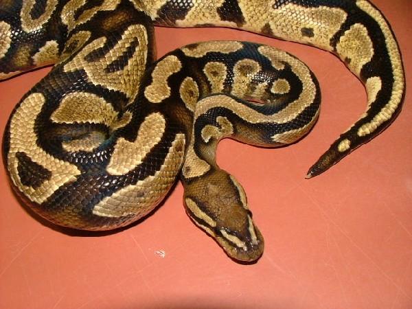 yellowbelly