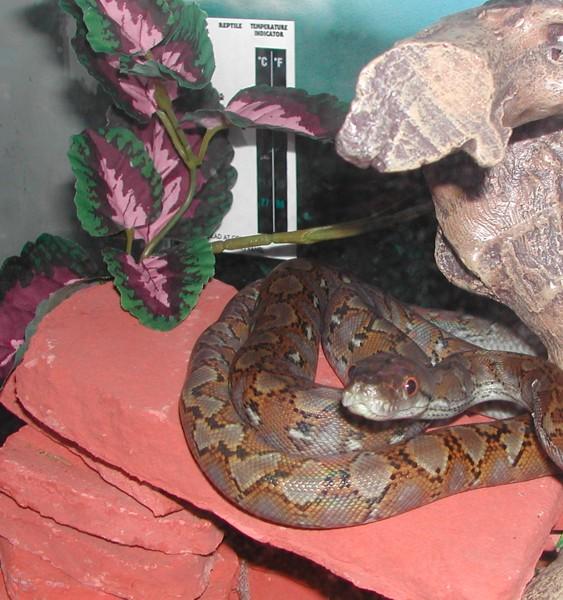 D'Artagnan, Super Dwarf x Jampea Dwarf Reticulated Python