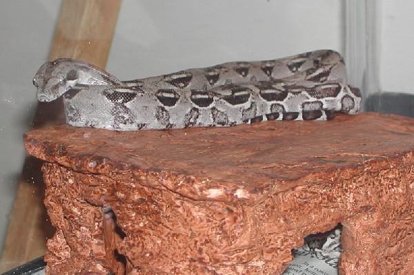 Leia, Anerythristic Peruvian Longicauda 2005 female