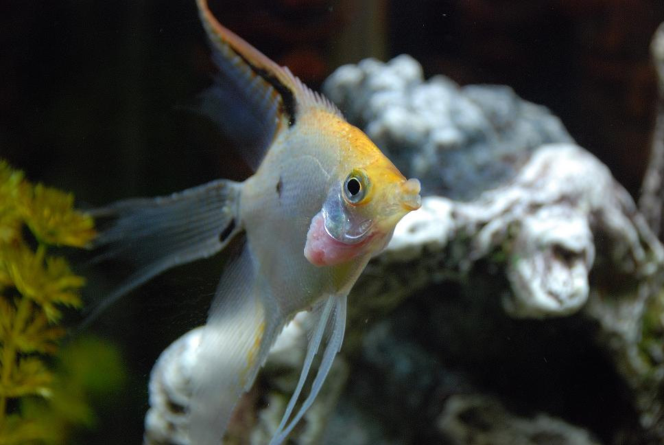 What is wrong with my Angelfishes gill?