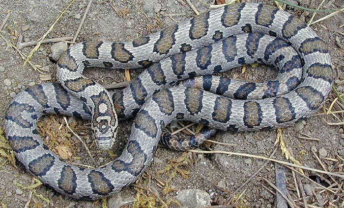 Eastern Milk Snake Pennsylvania