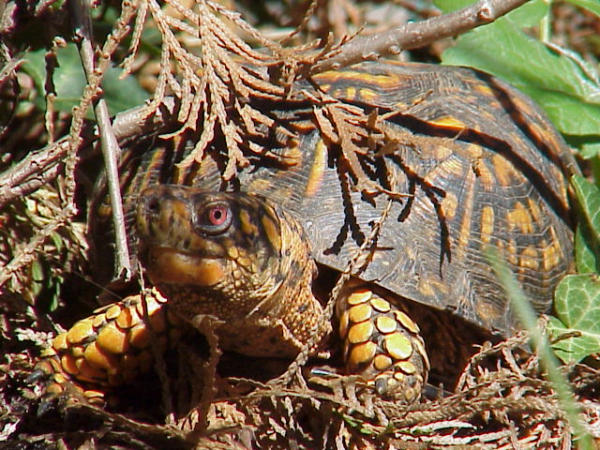 Photo: Box Turtle