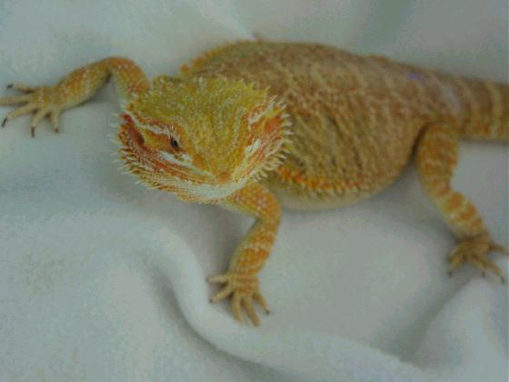 Connected By Petsphoto gallery > Bearded Dragons ...