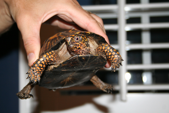 North GA Box Turtle 2
