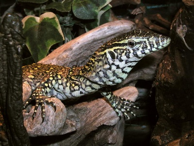 Young Nile monitor