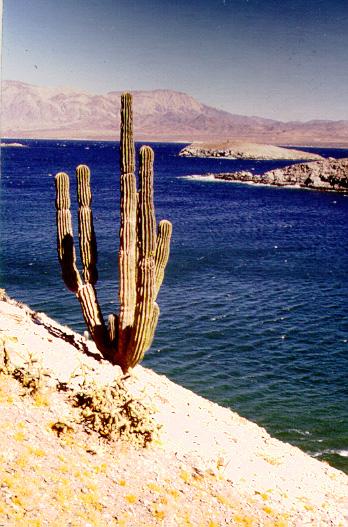 Baja Cardon