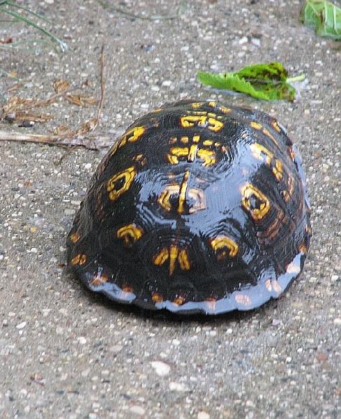 Eastern Box Turtle, uploaded by kingsnake.com user golfdiva