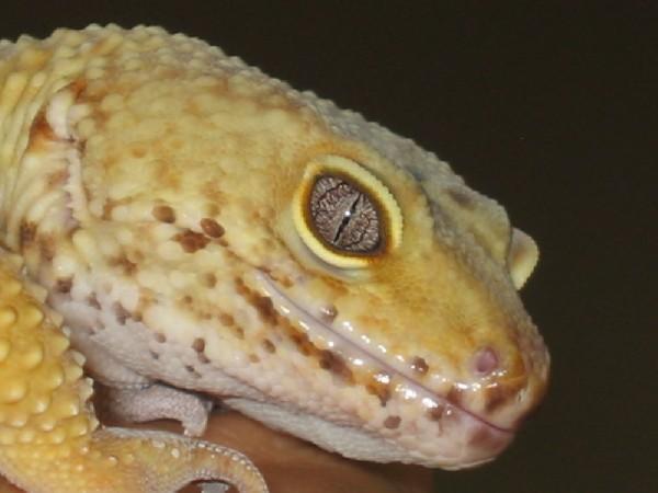 Leopard Gecko, uploaded by kingsnake.com user anialady