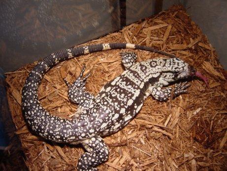 Tagoo Lizard