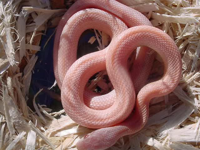 Guess what mcdonald s food item this is social anxiety for Serpente rosa