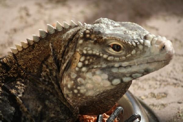 Photo: Rock Iguana