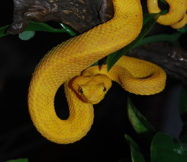 Eyelash Palm Pitviper