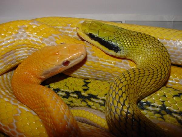 Rat Snakes, uploaded by kingsnake.com user RandyWhittington
