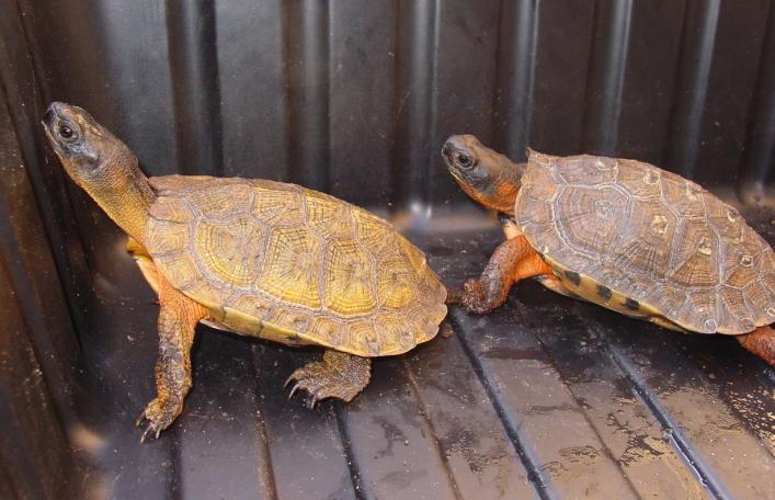 North American Wood Turtles
