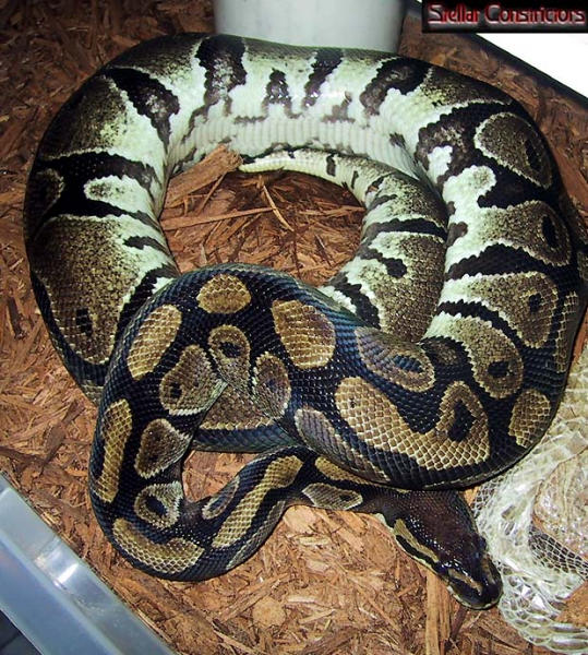gravid ball python