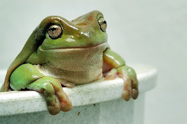 Tree Frog, uploaded by kingsnake.com user bradtort