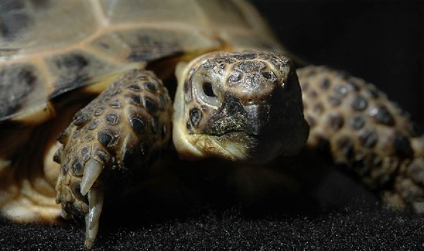 Photo: russian tortoise