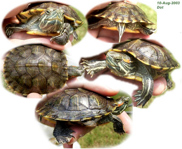 how to tell if my turtle is male or female