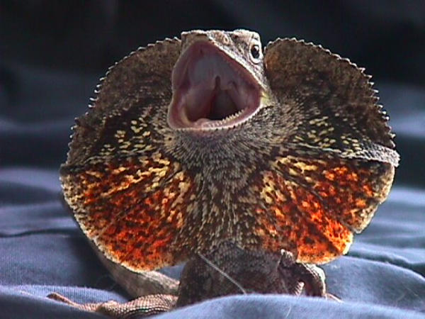 Frilled Dragon, uploaded by kingsnake.com user rumor150