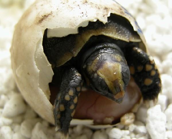 Tortoise, uploaded by kingsnake.com user amazoa