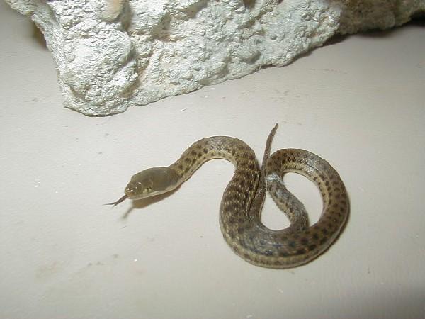 Melanogaster male 3 cb 2010