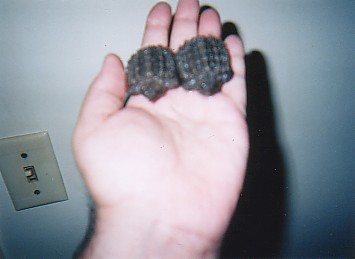 baby alligator snapping turtles alley snappersBert and Ernie