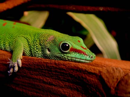 Photo: Day Gecko