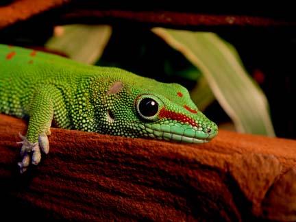 Photo: Day Gecko