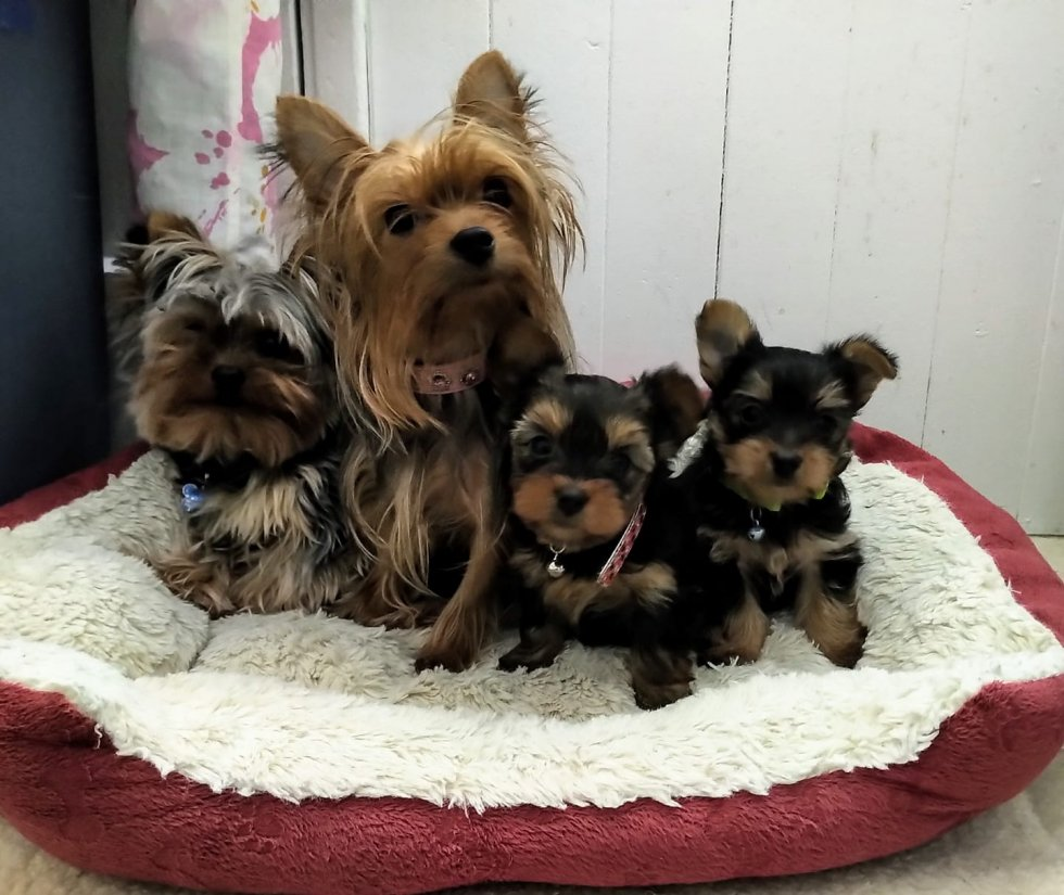 4 Yorkshire Dogs