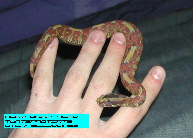 Ambulance For Sale >> Kingsnake.com - Herpforum - RE: what do you all think of ...
